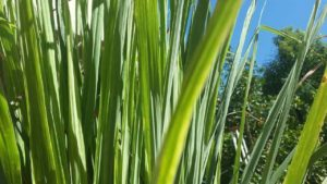 lemongrass-essential-oil-2