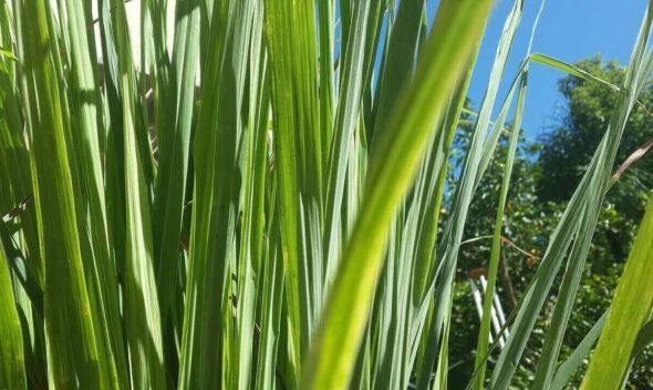 Abela Lemongrass Essential Oil